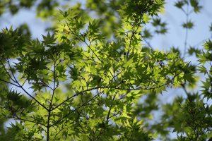 新緑のイロハモミジ