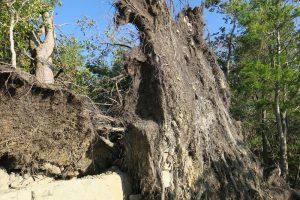 尾根の倒木1